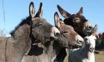 Balade avec les ânes - Pont de Salars